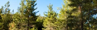 Piney Woods - Trees - Blue Sky - Tall Grass